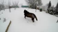 Chocolate brown Labrador running in the deep snow in winter slow motion video