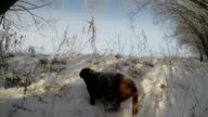 Chocolate brown Labrador running in the deep snow slow motion video
