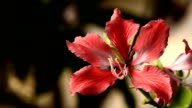 Chongkho flowers video
