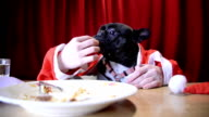 Christmas dog eating with hands video