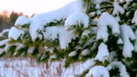 Christmas tree under the snow. A branch of a Christmas tree with drops of water. Winter landscape. Pine branch tree under snow. Tree branches with cones under the snow in winter video