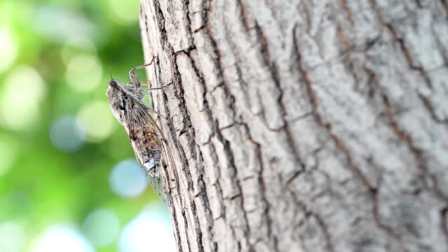 Cicada camouflaged on an olive tree video