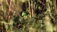 Cicada video