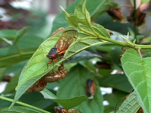 Cicadas crawling on leaf 2 video