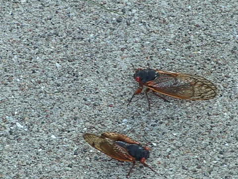 cicadas crawling on sidewalk video