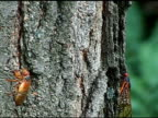 Cicadas crawling up tree video