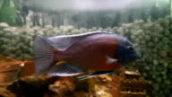 Cichlids are fish from the family Cichlidae video