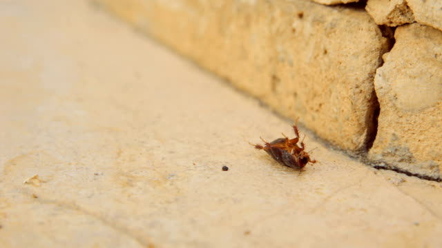Cinemagraph of female desert sand cockroach aka Arenivaga africana on its back video