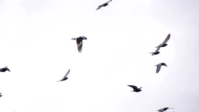 Circling Flock of Pigeons video
