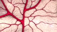 circulatory system video