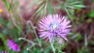 Cirsium horridulum flowers video