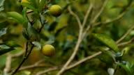 Citrus fruit video
