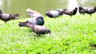 City Park Pigeons Bangkok. Southeast Asia video