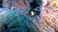 Clarke's anemonefish and  Long Tentacle Anemone video