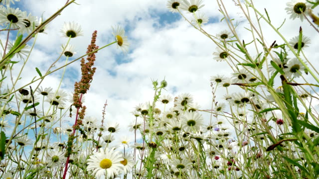 Clear blue sky after rain, beautiful blooming meadow with chamomile in a fresh day. View from below on wild flowers. Insects pollinate the wild flowers. Dolly shot. Concept of seasons, ecology, seasons, weather, purity video