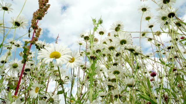 Clear blue sky after rain, beautiful blooming meadow with chamomile in a fresh day. View from below on wild flowers. Insects pollinate the wild flowers. Concept of seasons, ecology, seasons, weather, purity video