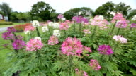 Cleome spinosa in garden flew by the wind video