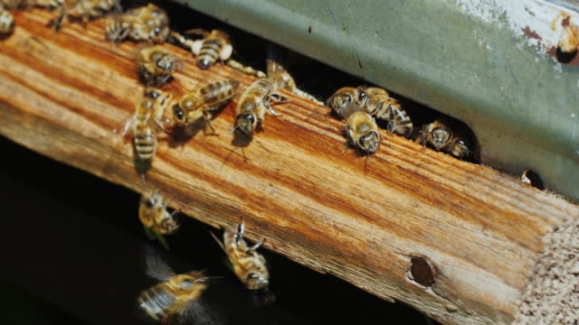 Close entry plan into the hive, bees fly rapidly and depart video