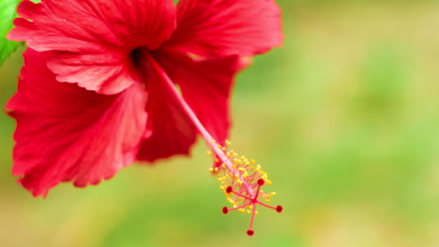 Close front view of a single red hibiscus flower slightly swinging on the wind video