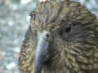 Close shot of a Kea video