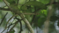Close shot of camouflaged insect on a plant in a tropical rainforest, forest wild animals, 4K RED cinema footage. video