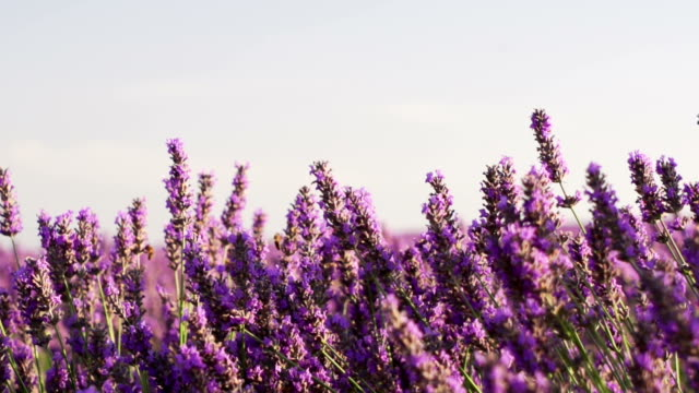 close shot of lavender field in slow motion video