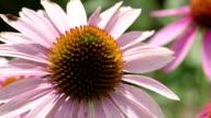 close shot of purple cone flower - echinacea video