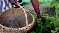Close up African woman harvesting herbs video