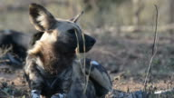 Close up and portrait of a cute Wild Dog. Wildlife Safari in Africa. video