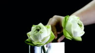 close up: arrange a lotus in a glass vase for respecting Buddha religion video