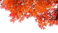 Close Up Autumn Background Isolated On White video