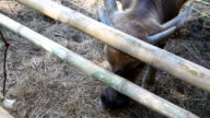 close up. Baby buffalo eating dry rice video