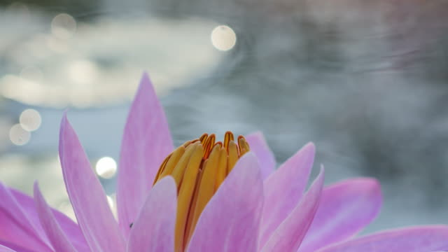 Close up bees on pink lotus in morning. video