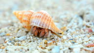 close up: big and colorful Hermit crab video