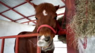 Close up brown horses eating hay in stable video