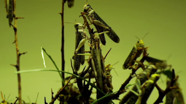 close up capture of locusts eating crops video