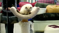 Close up cat jumping down at cat tree inside pet storeClose up cat jumping down at cat tree inside pet store video
