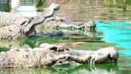 Close up Crocodile video