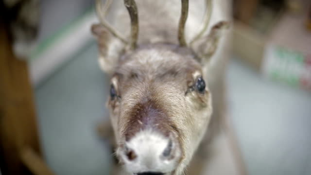 Close up Eld's Deer's nose video