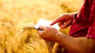 Close up farmers hands with tablet in a wheat field video