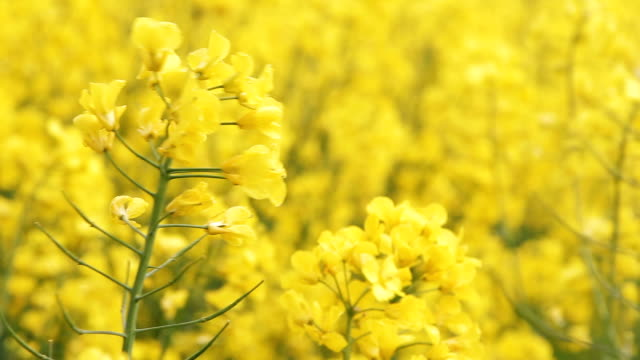 Close Up Field of blooming yellow rapeseed flowers video