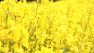 Close Up Field of waving yellow rapeseed flowers video