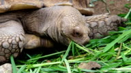 Close- Up : Giant Turtle Eating Fresh Grass video