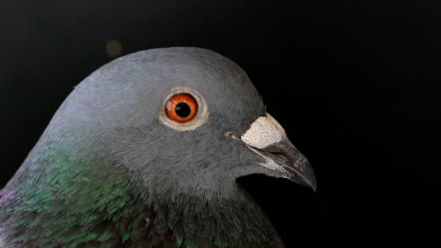close up head of pigeon bird video