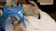 Close up kitten playing together inside pet store video