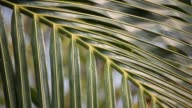 Close up leaf of coconut tree video