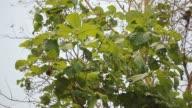 Close up leaf of  teak tree video