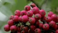 Close up look of the bottom of the European Rowan fruit FS700 4K video