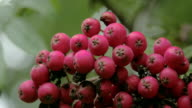Close up look of the bottom of the European Rowan fruit video