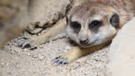 Close up Meerkat video